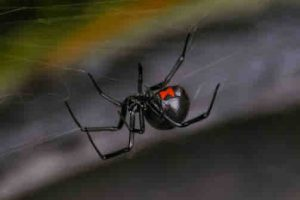 91267065 - a black widow spider