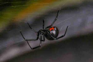 Broken Arrow Black Widow Exterminator