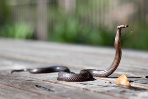 broken arrow snake removal expert