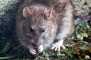Broken Arrow Rodent Control