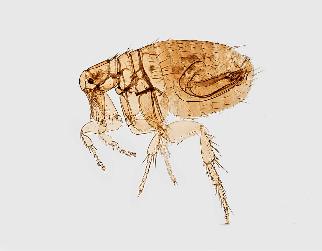 Tulsa Flea Exterminator
